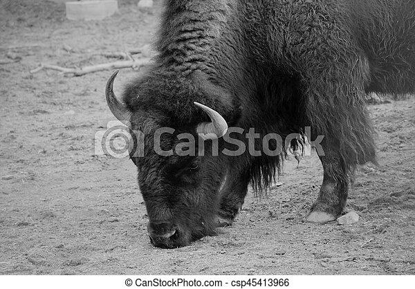 Bison - csp45413966