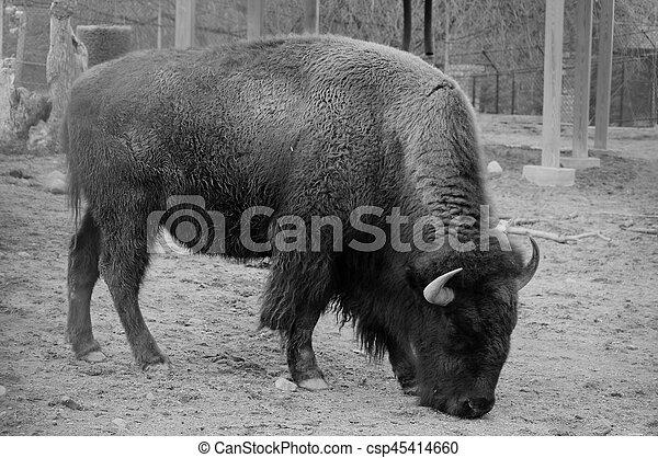 Bison - csp45414660