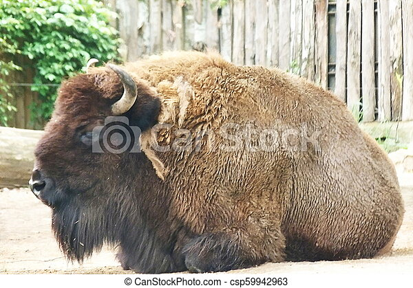 Bison - csp59942963
