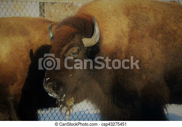 Bison - csp43275451