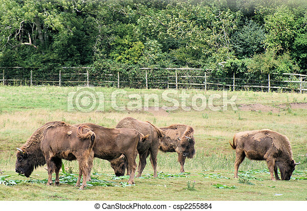 Bison - csp2255884