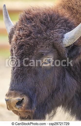 Bison - csp29721729