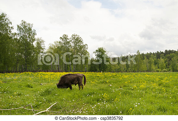 bison - csp3835792