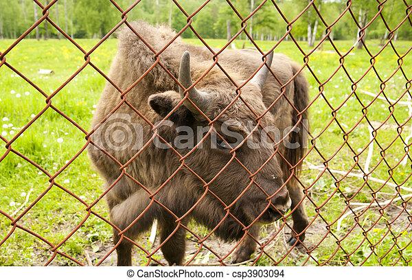 bison - csp3903094