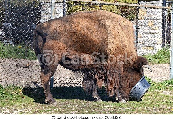 Bison - csp42653322