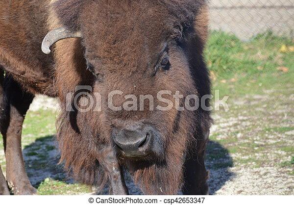 Bison - csp42653347