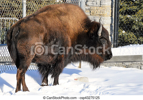 Bison - csp43275125