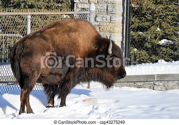 Bison - csp43275249