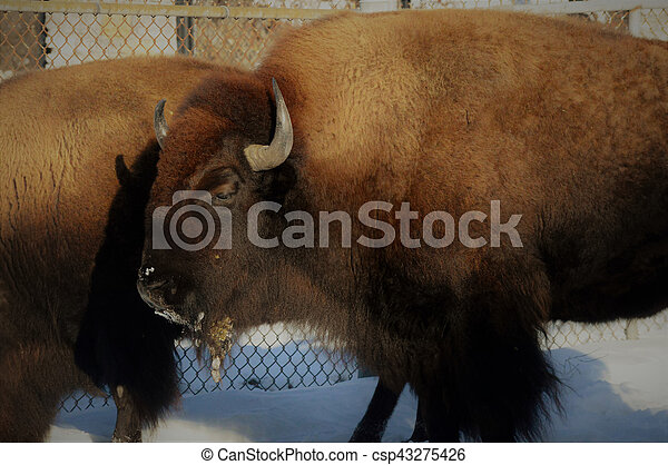 Bison - csp43275426