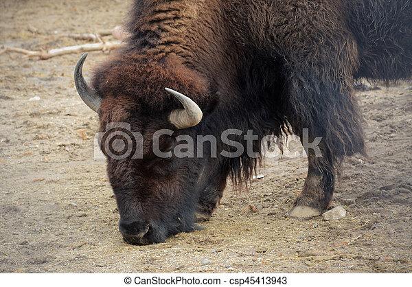 Bison - csp45413943