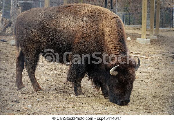 Bison - csp45414647
