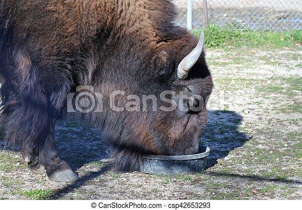 Bison - csp42653293
