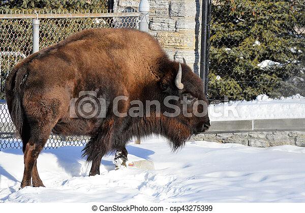 Bison - csp43275399