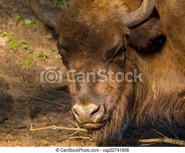 Bison - csp22741608