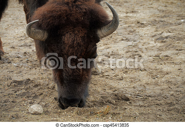 Bison - csp45413835