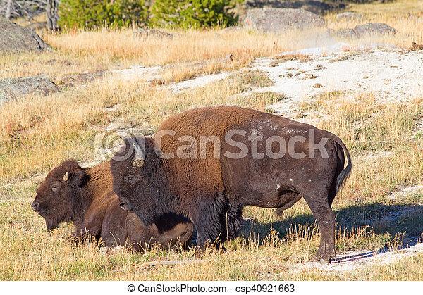 bisonte - csp40921663
