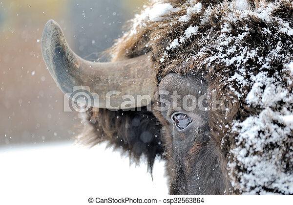 bisonte, inverno - csp32563864