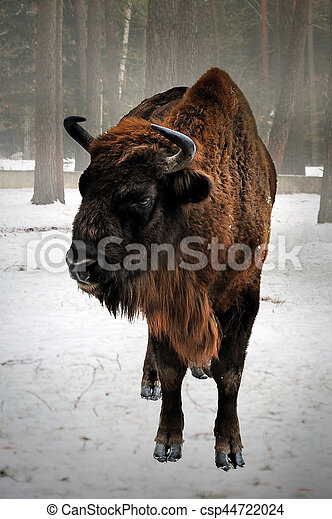 bisonte, inverno, europeu - csp44722024