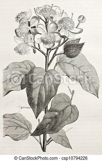Old illustration of achiote (bixa orellana), the source of natural ...