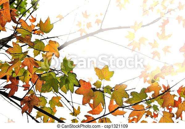 blätter, ahorn, hintergrund, herbst - csp1321109