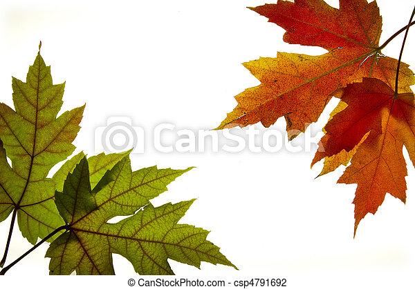 Blätter, herbst, 3, farben, backlit, gemischter, ahorn.... Stockfoto ...