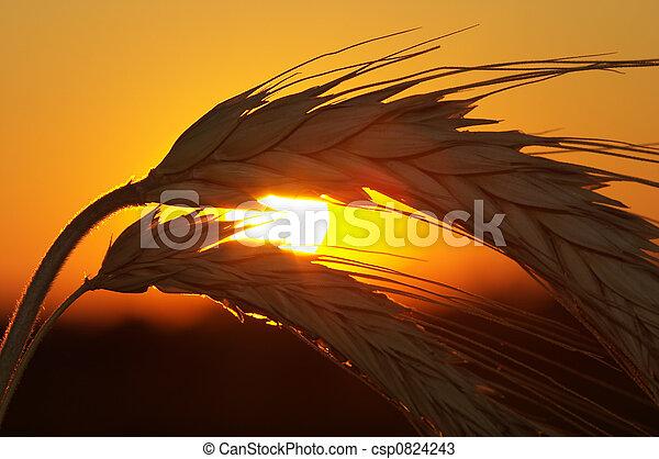 blé - csp0824243