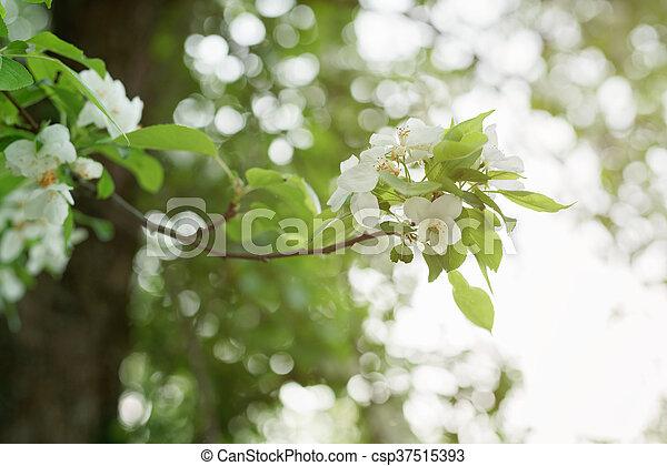Blüte, apfel, großer baum, weisse blumen. Blüte, apfel, groß, seicht ...