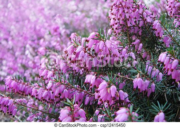 Fabelhaft Blüte, blumen, heidekraut, august. @OU_58