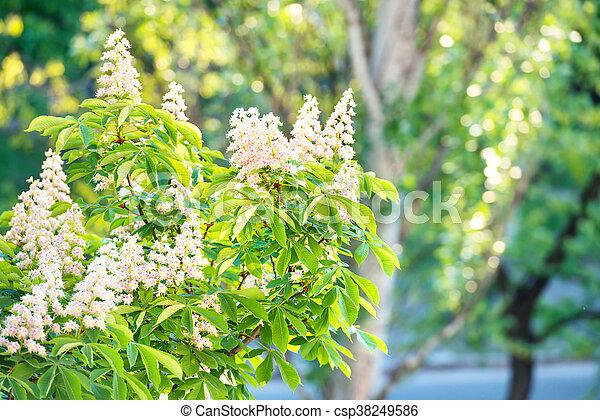 Blüte, kastanie, blumen, baum. Kastanienblüte, baum, leaves., grün ...
