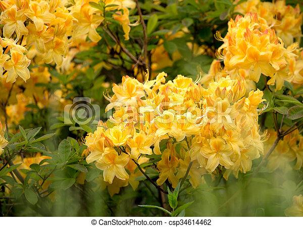 bl te rhododendron azalee busch gelber rhododendron. Black Bedroom Furniture Sets. Home Design Ideas