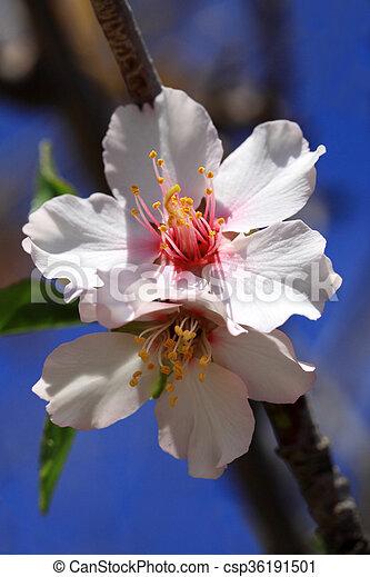 Blüte, weisse blumen, baum, mandel. Rosa, farbe,... Stockfotografie ...