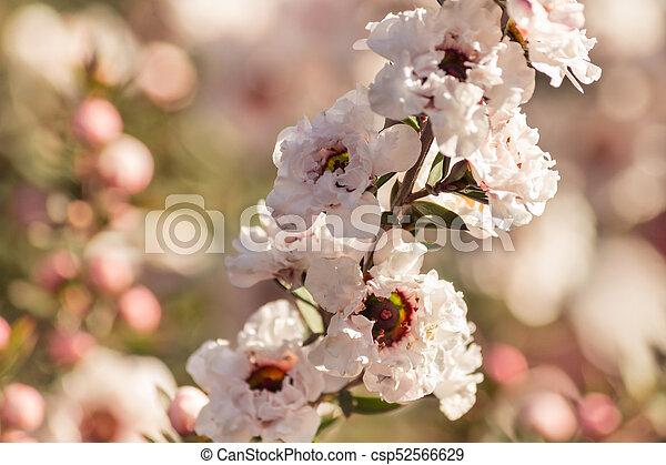 Blüte, weisse blumen, baum, manuka. Baum, freigestellt, weisse ...