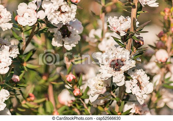 Blüte, weisse blumen, baum, manuka. Baum, closeup, weisse ...