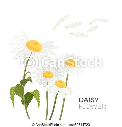 Blütenblätter , gelber , mitte, realistisch, vektor, gänseblumen ...