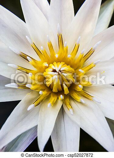 Blütenstaub, weiße blume, closeup, gelber .