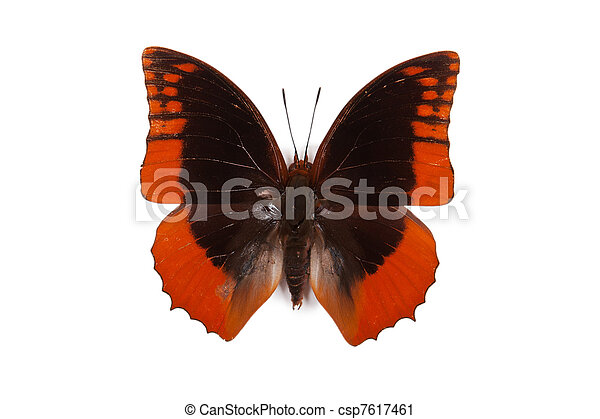 Black and blue butterfly Charaxes protoclea azota isolated - csp7617461