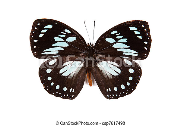 Black and blue butterfly Euxanthe wakefieldi isolated - csp7617498
