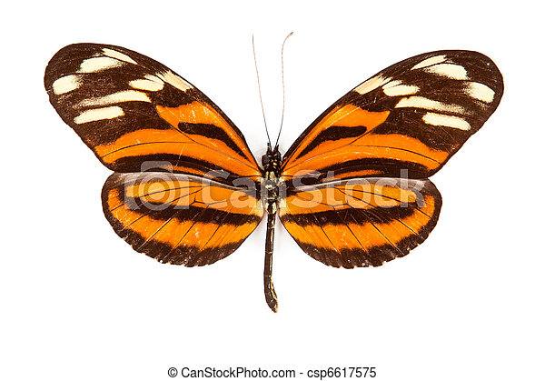 Black and orange butterfly Heliconius ismenius isolated on white background - csp6617575