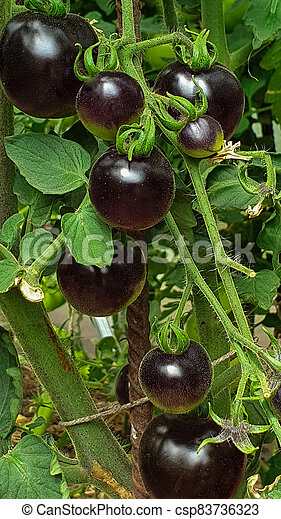 Black and red tomatoes grow in a greenhouse on an organic farm, Food and nature - csp83736323