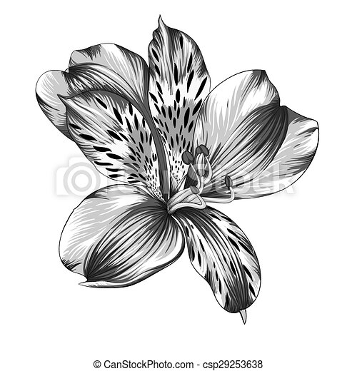 Beautiful monochrome black and white alstroemeria flower vectors black and white alstroemeria flower csp29253638 mightylinksfo Gallery