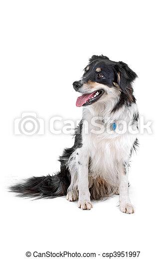Black and white border collie dog - csp3951997