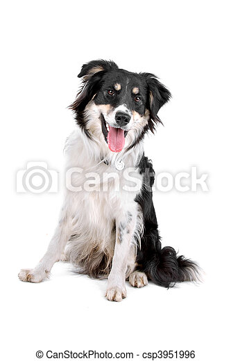 Black and white border collie dog - csp3951996