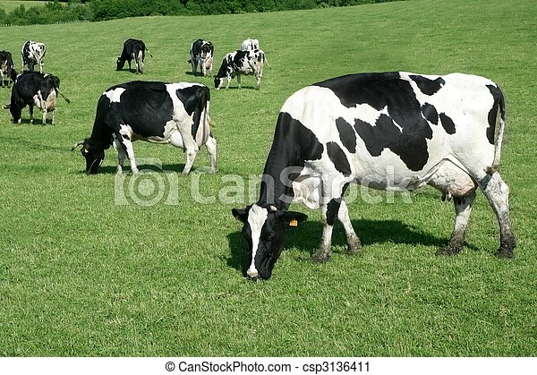 Black and white cow eating green meadow - csp3136411