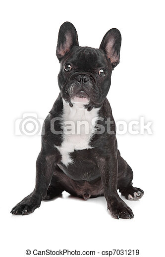 d5dda756 Black and white french bulldog in front of a white background.