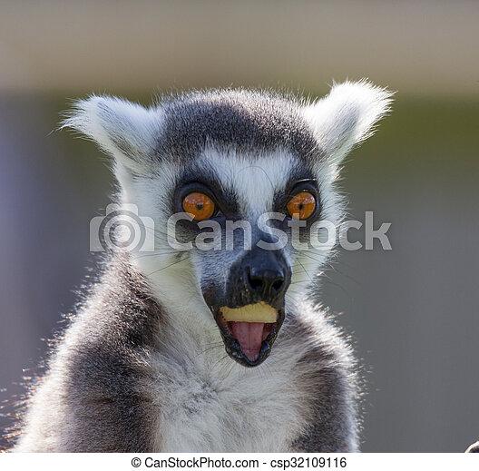 black and white lemur - csp32109116