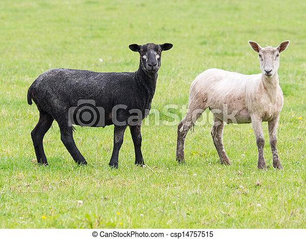 black and white sheep - csp14757515