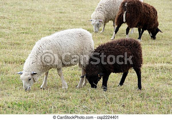 Black and White Sheep - csp2224401