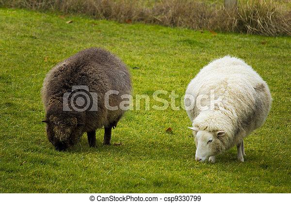 Black and White sheep - csp9330799