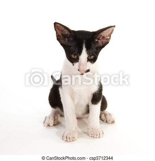 Black And White Siamese Cat On White Background Canstock