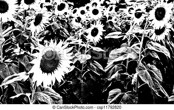 Black And White Sunflower Sunflower In Black And White